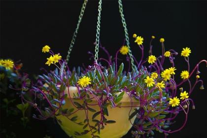 紫玄月怎么扦插?紫玄月扦插方法与养护技巧