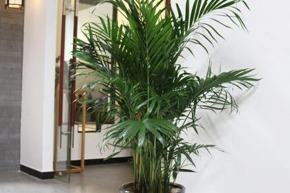 袖珍椰子和散尾葵的区别是什么?两者的养护技巧有哪些?