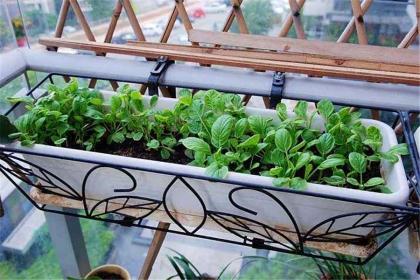 阳台上种菜的方法,阳台上怎么种菜