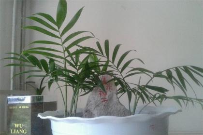 富贵椰子叶子发黄变干怎么办?教你从7个方面简单补救