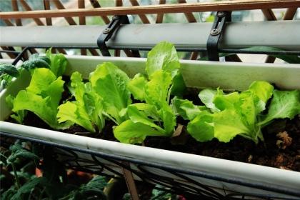 阳台能种什么菜?适合阳台种植的蔬菜介绍