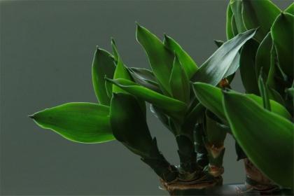 客厅风水植物有哪些,十种不同的客厅风水植物介绍