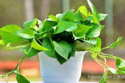 家中应常备哪些绿植?常备绿植大全