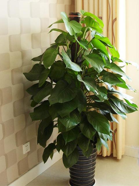 客厅摆放什么植物好