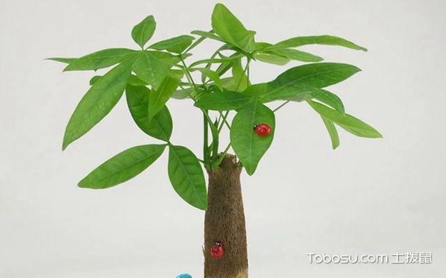 在 装修风水上,发财树比较适合摆放在风水位上,这样比较容易促家庭