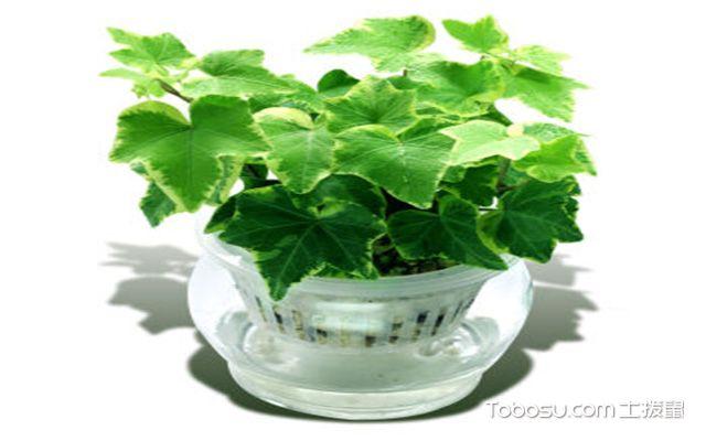 玻璃花瓶适合养哪些花之常春藤