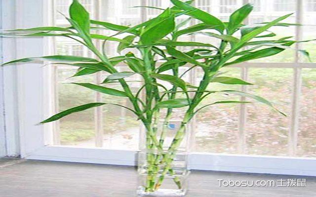 玻璃花瓶适合养哪些花之富贵竹