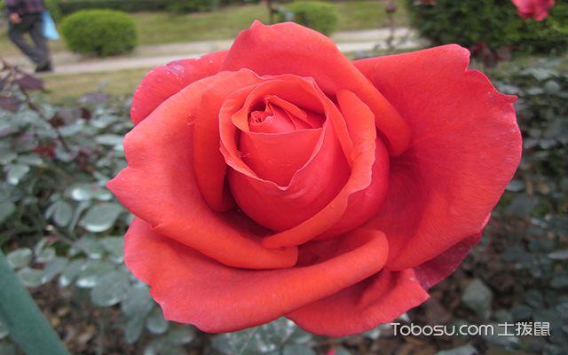 玻璃花瓶适合养哪些花之玫瑰花