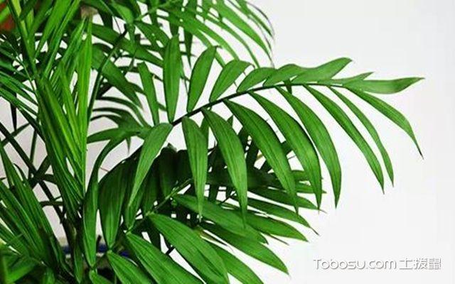 袖珍椰子与散尾葵的区别之散尾葵