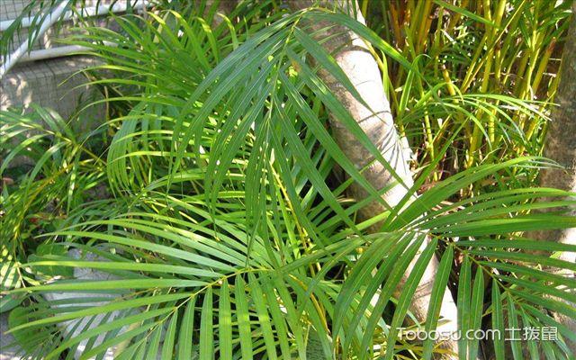袖珍椰子与散尾葵的区别之效果