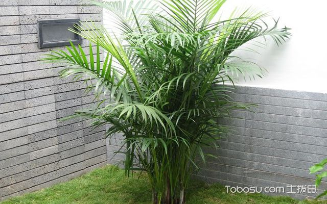 凤尾竹的风水作用之改善健康