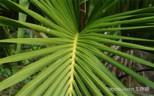 富贵椰子叶子发黄之措施