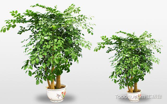 幸福树的养殖方法 幸福树如何养护