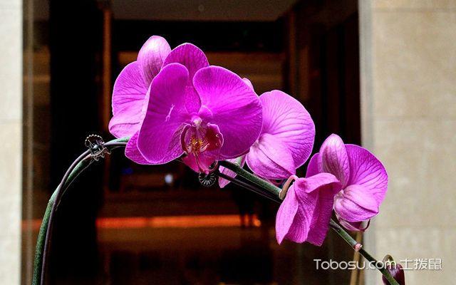 蝴蝶兰品种介绍之阿福德