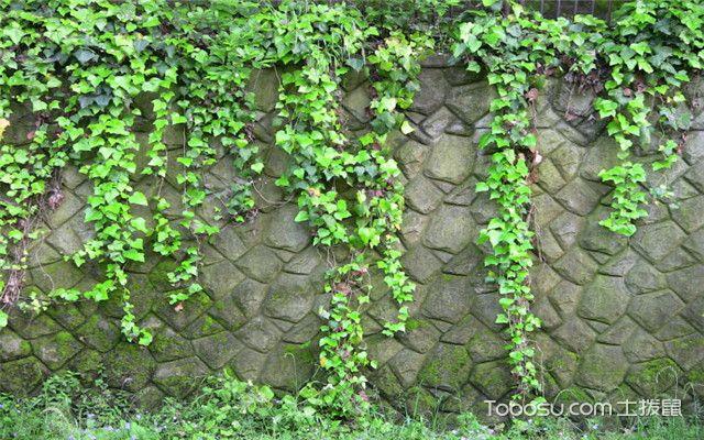 绿色植物有哪些-常春藤
