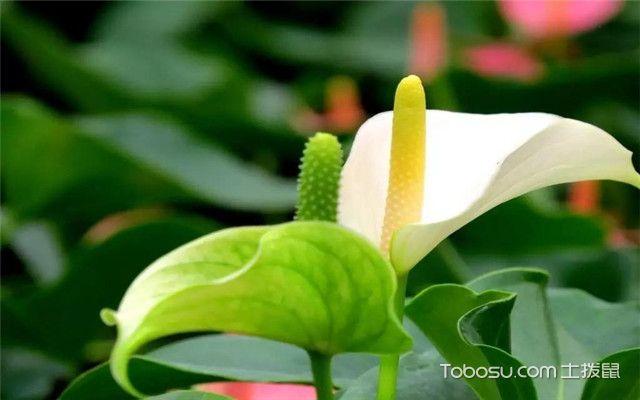 绿色植物有哪些-白掌