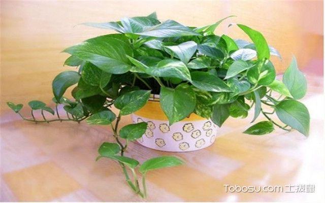 绿色植物有哪些-绿萝