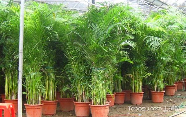 凤尾竹和散尾葵哪个好
