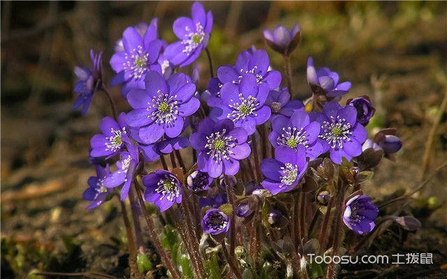 紫罗兰繁殖方法