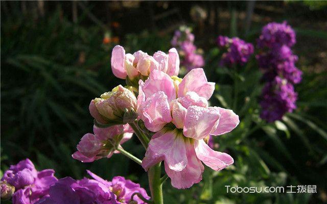紫罗兰养殖