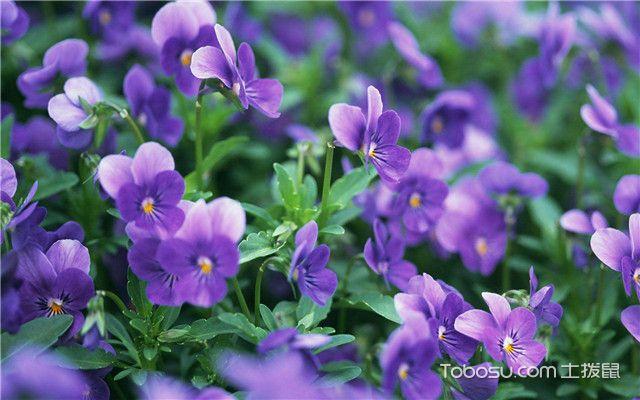紫罗兰病虫害防治方法