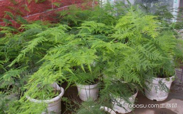 客厅养什么植物最好—文竹