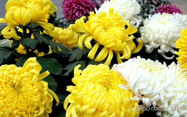 客厅养什么植物最好—菊花