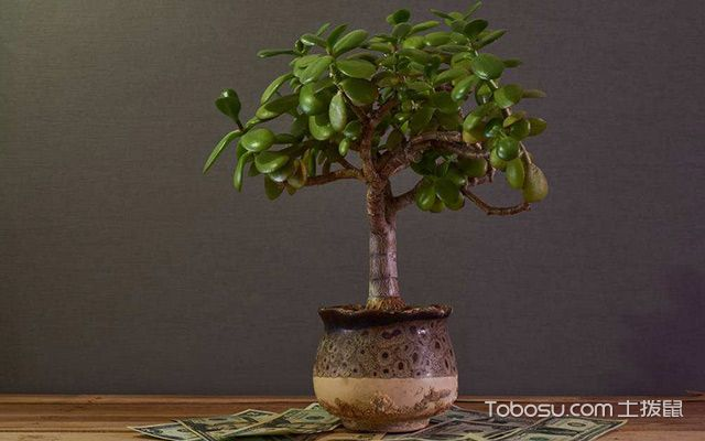 客厅摆放什么植物招财—金钱树