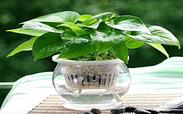 家庭水培绿萝的养殖方法