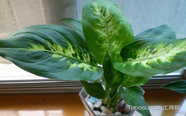 适合办公室水养的植物花叶
