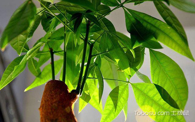 发财树可以放卧室吗—发财树1