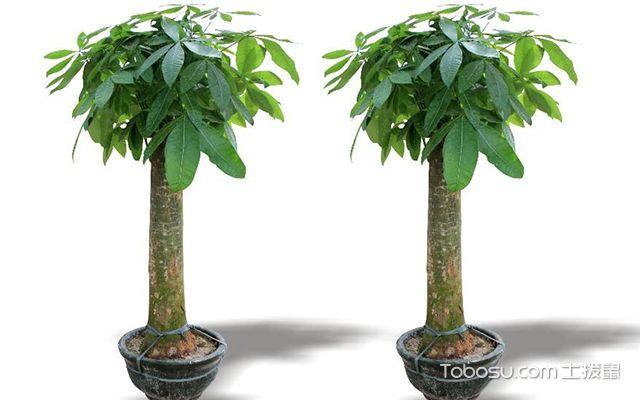 发财树可以放卧室吗—发财树3