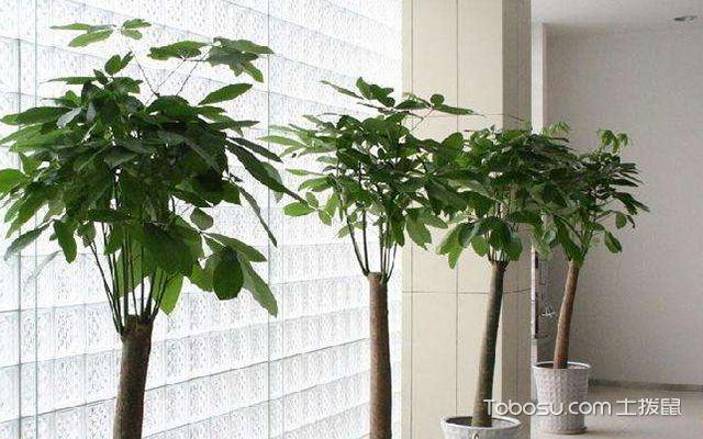 发财树可以放卧室吗—发财树4
