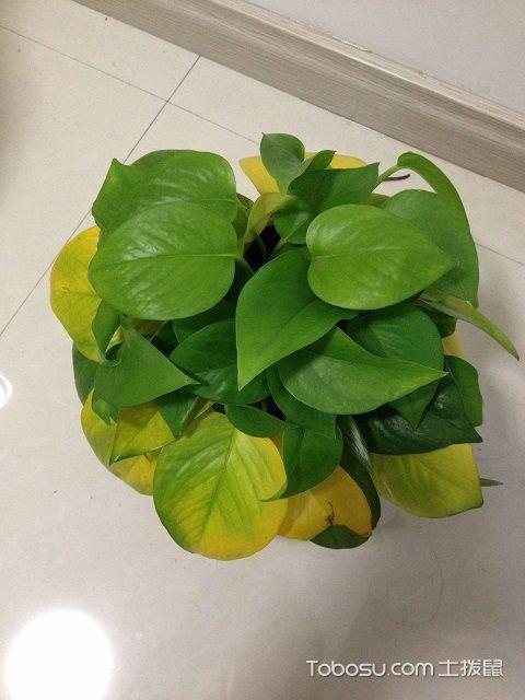 家里绿萝叶子发黄怎么办
