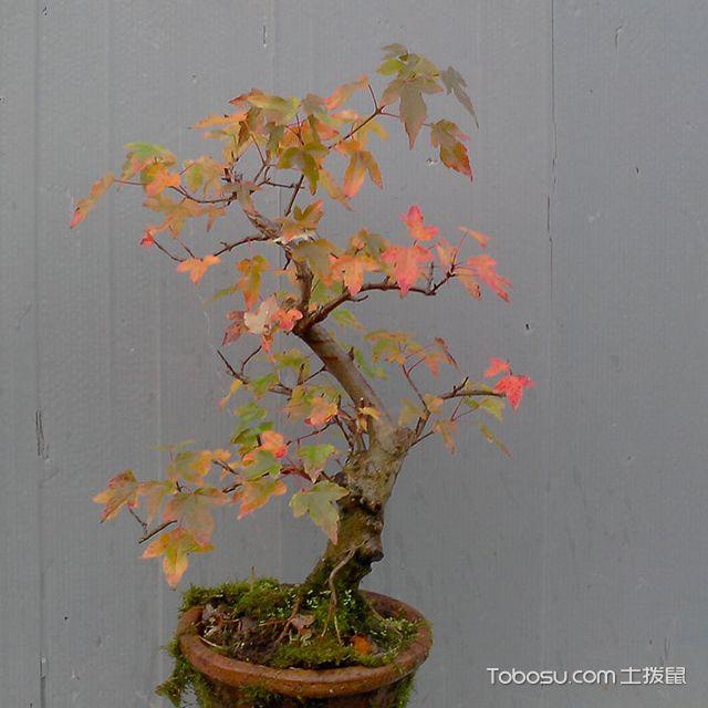 盆栽青枫树_土拨鼠