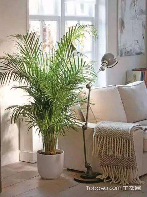 散尾葵适合放客厅吗