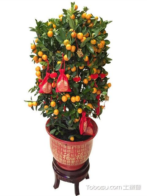 金桔树养殖