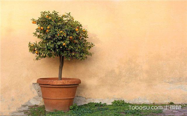 金桔树如何养殖