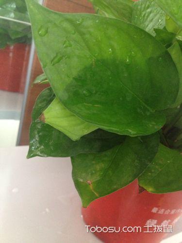 绿萝叶子发黑_土拨鼠装修经验