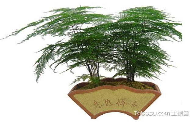 文竹的养殖方法的说明