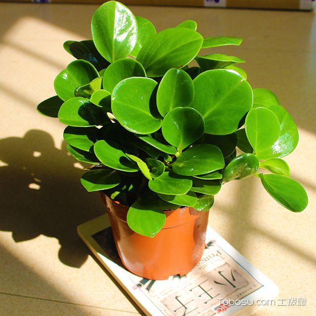 土拨鼠_豆瓣绿怎么种植?