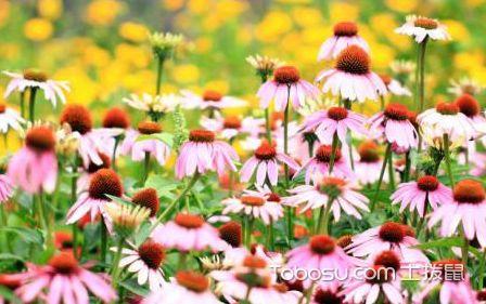 松果菊图片