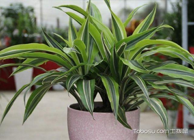 巴西美人植物