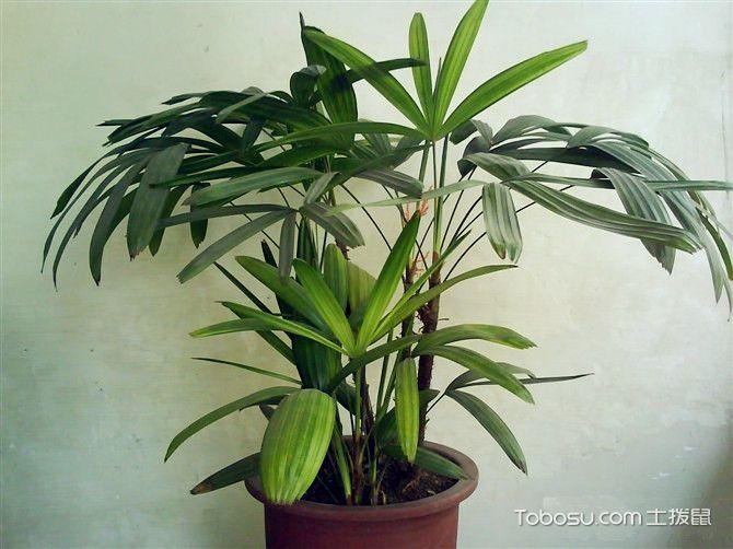 棕竹生长习性