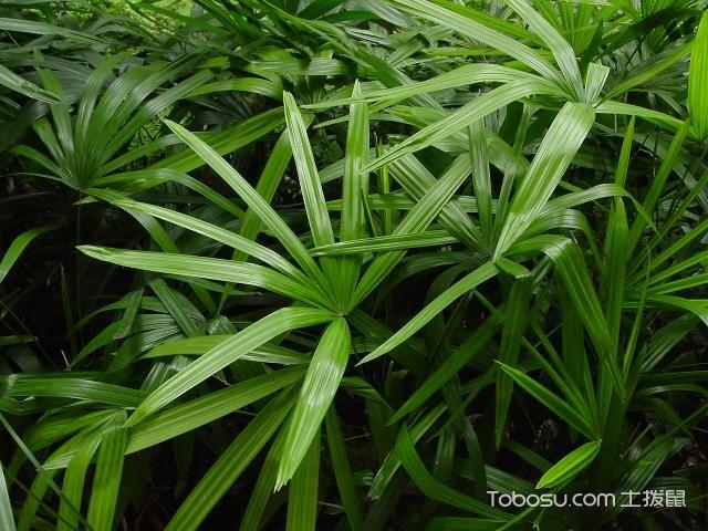观音棕竹图片