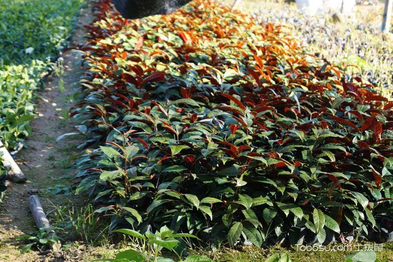 红背桂养殖