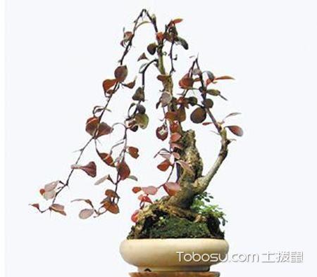 紫叶小檗盆景