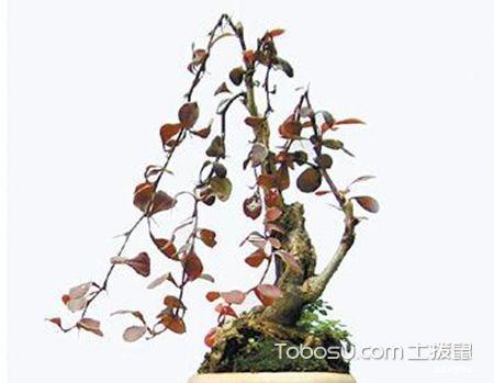 紫叶小檗盆景养护方法