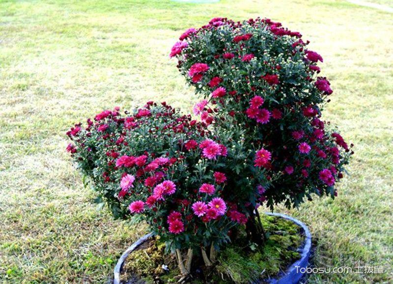 菊花盆景图片