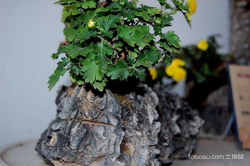 菊花附石盆景